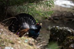 Western Capercaillie (Tetrao urogallus). Western Capercaillie - Tetrao urogallus display in a forest in Piatra Mare Mountains in mating season. The Western Royalty Free Stock Photo