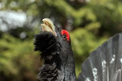 Western Capercaillie (Tetrao urogallus) head Stock Image