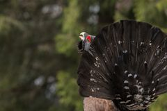 Western Capercaillie (Tetrao urogallus) in mating. Western Capercaillie - Tetrao urogallus in a forest of Piatra Mare Mountains in mating season. The Western Stock Photos