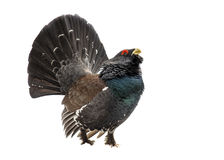 Western capercaillie wood grouse on white background. Displaying Western capercaillie (Tetrao urogallus), also known as Wood grouse, Heather cock, or just Royalty Free Stock Image
