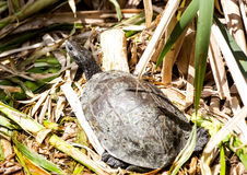 Western Caspian Turtle on Shrubs Royalty Free Stock Image