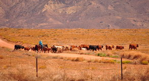 Western cattle with cowboy on horse Stock Images