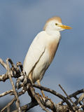 Western Cattle Egret Stock Photos