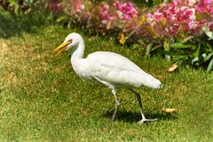 Western Cattle Egret walks on a green grass Stock Image