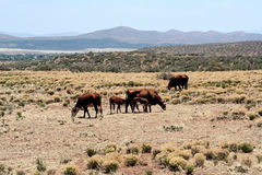Western cattle range. Cattle browsing on a high desert rangeland Royalty Free Stock Images