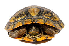Western Chicken Turtle Stock Images