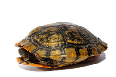 Western Chicken Turtle. Reptile western chicken turtle sitting on isolated backdrop Royalty Free Stock Photography
