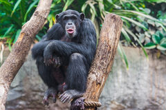 Western chimpanzee Stock Photo