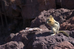 Western Chipmunk eating on red lava rocks Stock Photo