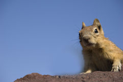 A Western Chipmunk on the lookout Royalty Free Stock Photography