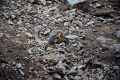 Western Chipmunk, related Tamias, Striatus, Sibiricus small striped rodent of the family Sciuridae, found in North America. This. One as seen on a hike to stock image
