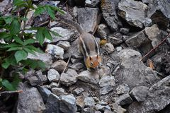 Western Chipmunk, related Tamias, Striatus, Sibiricus small striped rodent of the family Sciuridae, found in North America. This. One as seen on a hike to royalty free stock images