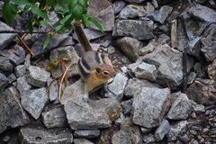 Western Chipmunk, related Tamias, Striatus, Sibiricus small striped rodent of the family Sciuridae, found in North America. This. One as seen on a hike to stock photo