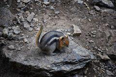 Western Chipmunk, related Tamias, Striatus, Sibiricus small striped rodent of the family Sciuridae, found in North America. This. One as seen on a hike to royalty free stock photos