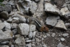 Western Chipmunk, related Tamias, Striatus, Sibiricus small striped rodent of the family Sciuridae, found in North America. This. One as seen on a hike to stock photography