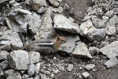 Western Chipmunk, related Tamias, Striatus, Sibiricus small striped rodent of the family Sciuridae, found in North America. This. One as seen on a hike to stock photos