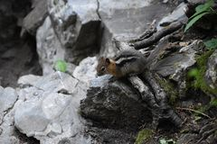 Western Chipmunk, related Tamias, Striatus, Sibiricus small striped rodent of the family Sciuridae, found in North America. This stock photography