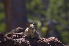 Western Chipmunk searching for food Stock Image