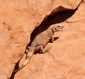 Western Chuckwalla Royalty Free Stock Images