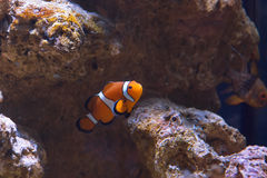 Western clown anemone fish Stock Photography