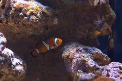 Western clown anemone fish Stock Photo