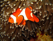 Western Clown-anemonefish. At Martatua Island, Indonesia Stock Photos