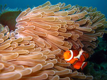 Western Clown-anemonefish. /Western Clownfish, Martatua Island, Indonesia Stock Photo