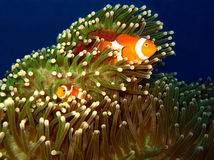 Western Clown-anemonefish Couple. At Martatua Island, Indonesia Stock Images