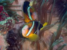 Western clown fish. Clown fish Royalty Free Stock Images