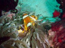 Western clown fish Stock Images