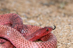 Western Coachwhip Stock Images