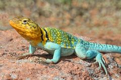 Western Collard Lizard (Crotaphytus collaris) Royalty Free Stock Photography