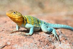 Western Collard Lizard Crotaphytus collaris. Colorful male Western Collard Lizard Crotaphytus collaris which is native to the southwestern United States Stock Photography