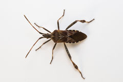 Western conifer seed bug Stock Photo