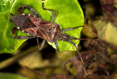 Free Western Conifer Seed Bug. Stock Photography - 24076062