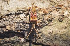 Western conifer seed bug insect, Leptoglossus occidentalis, crawling. Western conifer seed bug insect, Leptoglossus occidentalis, or WCSB, crawling on wood in stock image
