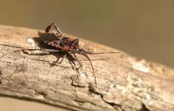 A beautiful Western Conifer Seed Bug, Leptoglossus occidentalis, Coreidae, perching on a branch in woodland. A Western Conifer Seed Bug, Leptoglossus stock photography