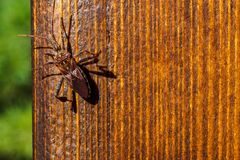 Free Western Conifer Seed Bug, Leptoglossus Occidentalis On Wooden Plank Royalty Free Stock Photo - 186533435