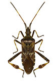 Western Conifer Seed Bug on white Background. Leptoglossus occidentalis  Heidemann, 1910 Royalty Free Stock Image