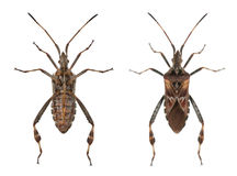 Western conifer seed bugs Stock Photo