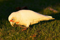 Western Corella Royalty Free Stock Images