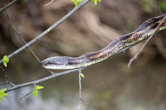 Western Cottonmouth Royalty Free Stock Image