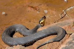 Western cottonmouth Stock Images