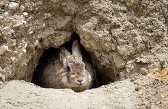 Western Cottontail. A western cottontail peeks out from a hole on the Wyoming prairie royalty free stock photo