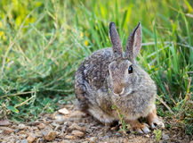 Western Cottontail Rabbit Stock Images