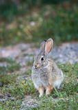Western Cottontail Royalty Free Stock Photo