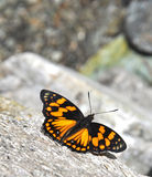 Western courtier butterfly Stock Images