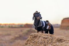 Western cowboy sheriff dachshund dog with gun, wearing american hat and cowboy costume outside in the desert, against the sunset. Sky stock photo