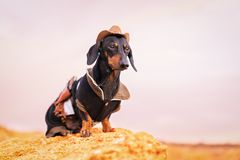 Western cowboy sheriff dachshund dog with gun, wearing american hat and cowboy costume outside in the desert.  royalty free stock image