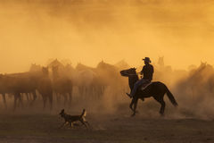 Western cowboys riding horses, roping wild horses royalty free stock image